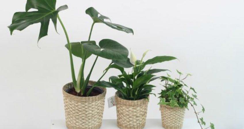 Cu les son las mejores plantas de interior ictinos - Mejores plantas para interior ...